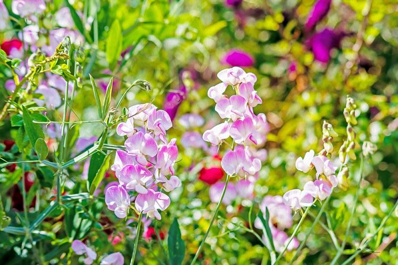 Sweet Pea Flowers Lathyrus odoratus white middles shading to pink petal edges