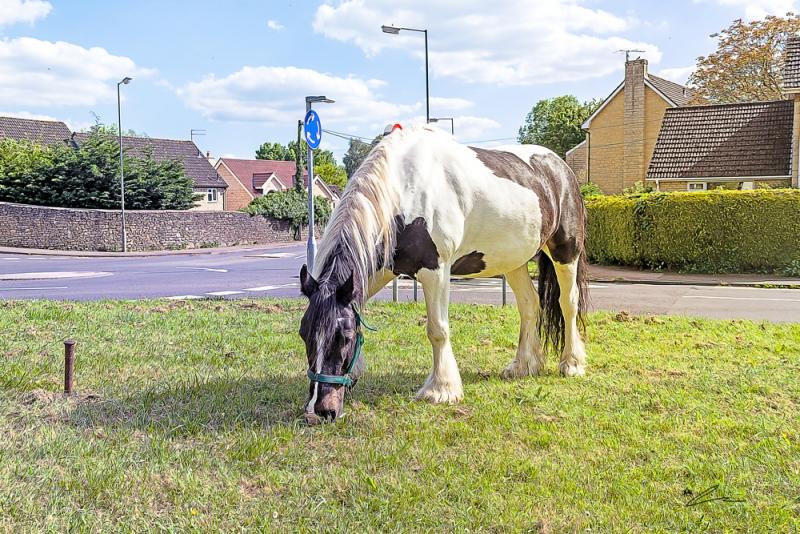 Bradford on Avon Wiltshire May 22nd 2019 An Irish cob/Gypsy Vanner grazing by the roadside