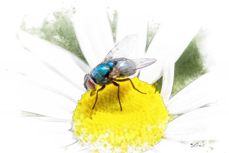 Daisy Fly