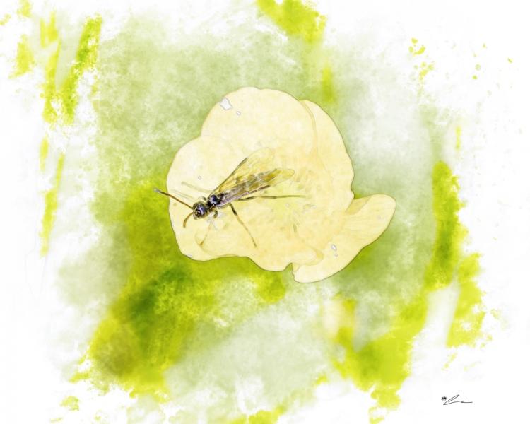 Buttercup Bug