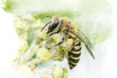 Ivy Bee Colletes Hederae Feeding In The Autumn Sun