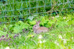 A young European Wild rabbit (Oryctolagus cuniculus) near a fence at the edge of a field