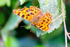 Comma butterfly Polygonia c-album resting on a twig overlying a leaf