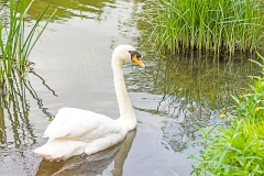 Mute Swan Cygnus olor. Swimming in shallow water with patches of reeds around