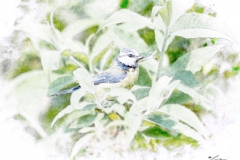 Blue Tit On Buddleia