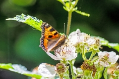 Small tortoiseshell butterfly Aglais urticae feeding on bramble blossom