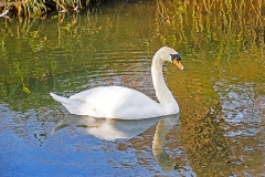 Mute swan (Cygnus olor) swimming with reflection of bank reeds behind