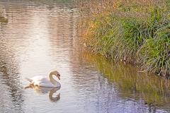 A mute swan (Cygnus olor) on open water with just small section of river bank