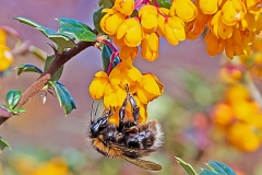 A tree bumblebee feeding on flowers of a Darwins Barberry bush
