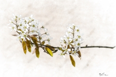 Juneberry Blossom