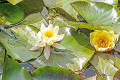 2 white water lily flowers against a surrounding of green leaves on a pond